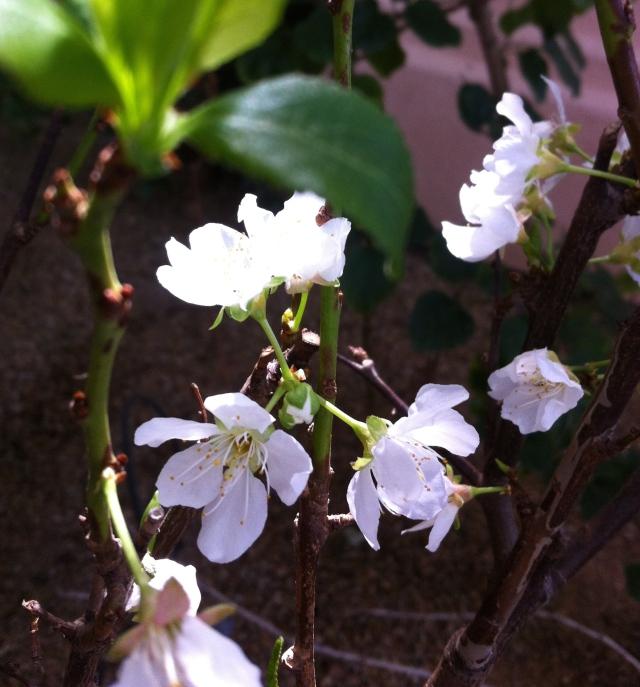 Plum blossoms 022615